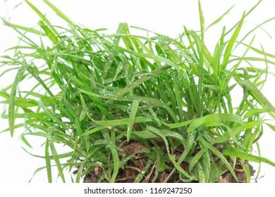Quackgrass dewdrop Root
