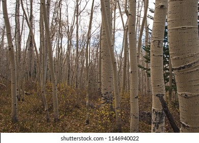 Quacking Aspen (Populus tremuloides) photographed during fall in the Manti-La Sal National Forest. Utah