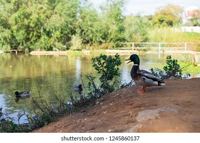 Quacking duck standing on a pond shore