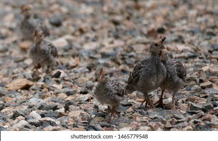 Quail babies of different ages are sharing an outing.