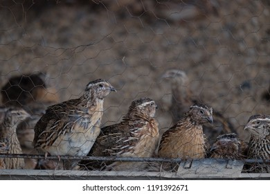 quail birds farming
