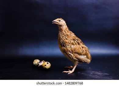 Quail and eggs isolated on Black.Domesticated quails are important agriculture
