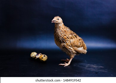 Quail and eggs isolated on Black.Domesticated quails are important agriculture , selective focus