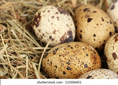quail eggs in a nest of hay close-up
