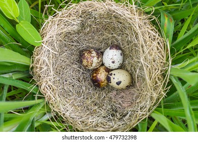 quail eggs on cage in garden