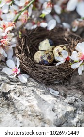 Quail eggs in the small nest under almond blossom