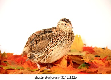 A quail of Estonian breed stands on the autumn leaves