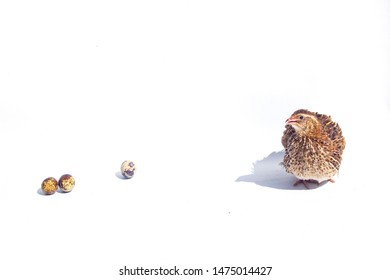 Quail hens and eggs isolated on white.Domesticated quails are important agriculture