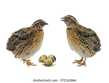 Quail hens and eggs isolated on white.Domesticated quails are important agriculture poultry