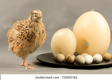 Quail of the Manchurian breed near the dish with candles and quail eggs