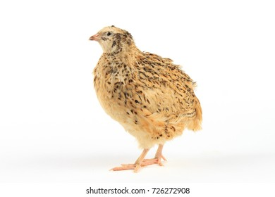 Quail of Manchurian breed stay on white background