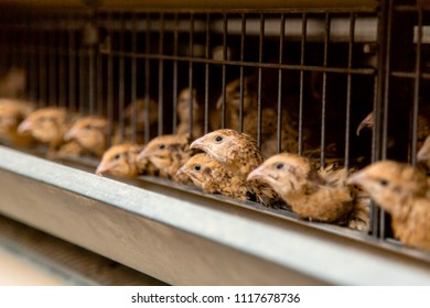 Quail on a poultry farm in cages