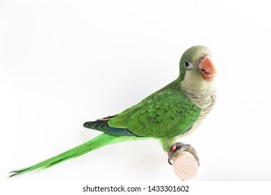 Quaker green parrot on white background