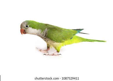 Quaker Parrot Isolated on White Background - Myiopsitta monachus