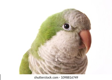 Quaker Parrot Isolated on White Background