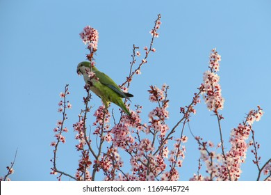 Quaker Parrot on an Almond Tree