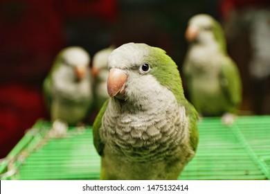 Quaker parrots in Yuen Po Street Bird Garden, Hong Kong