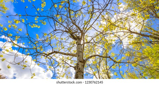 Quaking aspen against bright blue sky with clouds