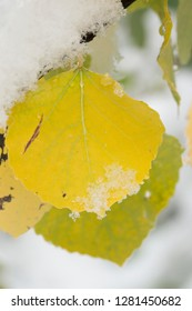 Quaking aspen leaves, First snow to October, Continental Divide, Rabbit Ears pass, Colorado, USA
