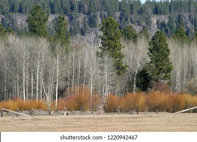 Quaking aspen mixed with conifers, Wood River Valley, Oregon, USA