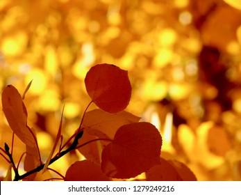 Quaking Aspen Tree Golden Orange Autumn Leaves