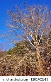 Quaking aspen without leaves on the edge of pine forest,  background of bright blue sky, sunny day