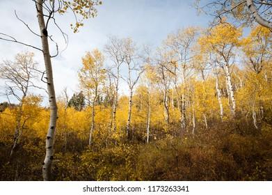 Quaking aspens display autumn gold colors in Utah.