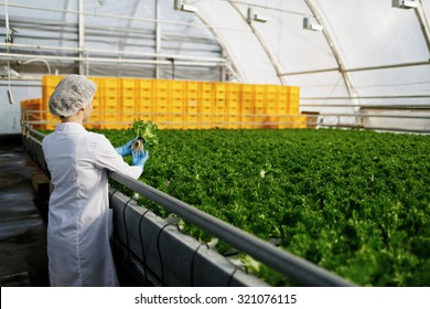Quality control. Young female scientist stselects new breed of green salad optimized for consumption at greenhouse. Focus on the hand