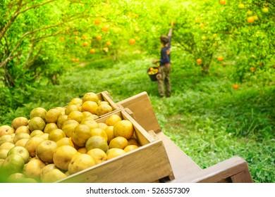 Quality and friendly fruit concept.Fresh orange on wooden box retro chic in orange farm.