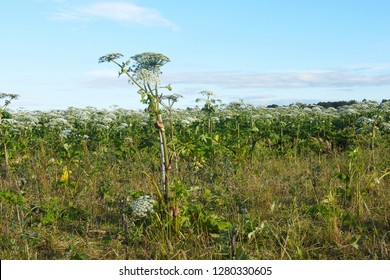 Quarantine species of agricultural plants. Cow parsnip Sosnowski takes up farmland in Eastern Europe