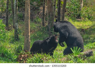 The quarrel of two Asiatic black bears (Ursus thibetanus), also known as the moon bear or the Himalayan bear.