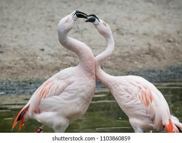 Quarreling, squabbling Flamingos
