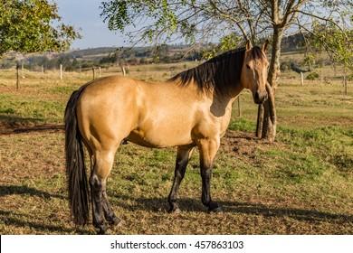 buckskin horse images stock photos vectors shutterstock