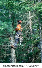 Quebec, Canada - August 5, 2016 : Professional lumberjack cutting tree on the top  with a chainsaw in Quebec country, Canada -- serial pictures