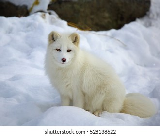QUEBEC, CANADA - JANUARY 23, 2015: Arctic Fox (Vulpes lagopus) in winter.