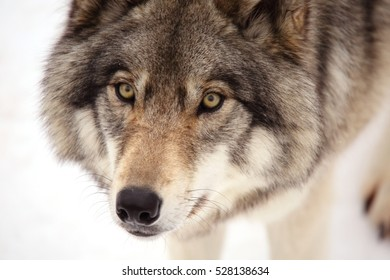 QUEBEC, CANADA - JANUARY 23, 2015: Grey Wolf (Canis lupus)in winter.