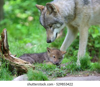 QUEBEC, CANADA - JUNE 14, 2016: Grey Wolf (Canis lupus) with pup in spring.