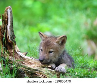 QUEBEC, CANADA - JUNE 14, 2016: Grey Wolf (Canis lupus) pup in spring.