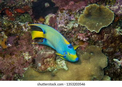 Queen angel fish roaming the fringing coral reef around the tropical island of Bonaire in the caribbean