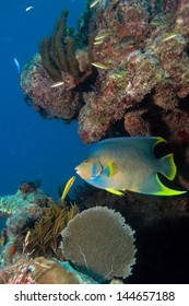 Queen angelfish  from the coral reefs of the mesoamerican barrier. Mayan Riviera, Mexican Caribbean.