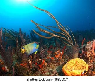 Queen Angelfish with gorgonian
