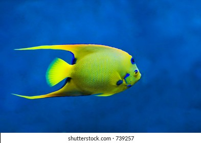 Queen Angelfish (Holoacanthus ciliaris)