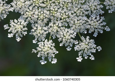 Queen Anne's Lace (Daucus carota) with white petals and soft green background