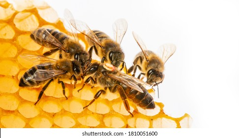 the queen (apis mellifera) marked with dot and bee workers around her - bee colony life