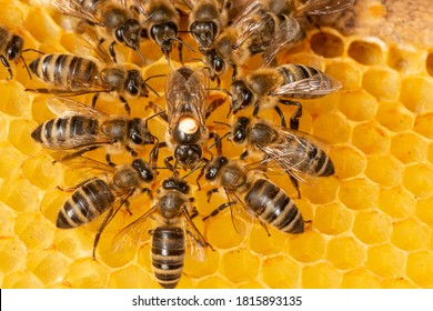 the queen (apis mellifera) marked with dot and bee workers around her - life of bee colony