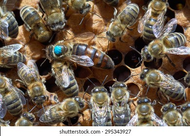 Queen bee in the center. It's larger than other worker bees and it's marked by blue paint