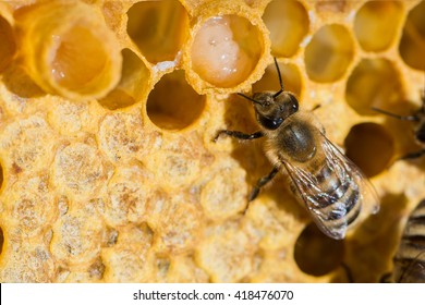 A queen bee cup with royal jelly in the wax comb of the honey bee (Apis mellifera)