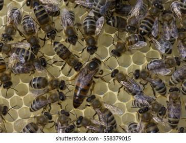 Queen bee lays eggs in the honeycomb.
