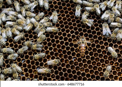 Queen bees in honeycombs lays eggs. Apiculture.