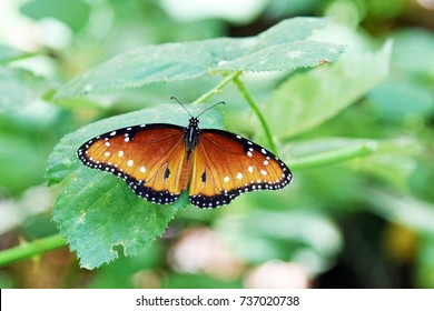 Queen butterfly, Danaus gilippus sitting on a leaf